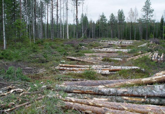 Päätehakkuulla sekametsässä puutavaralajeja voi olla yli kymmenen erilaista.