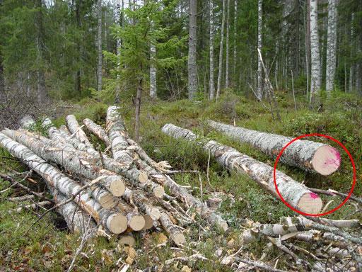 Koivutukkien päissä oleva värimerkintä auttaa erottamaan tukkipölkyt kuitupölkyistä. Eri puutavaralajikasat on myös tehty selvästi erilleen, joten tunnistus voi tapahtua myös kasamuodostelmiin perustuen.