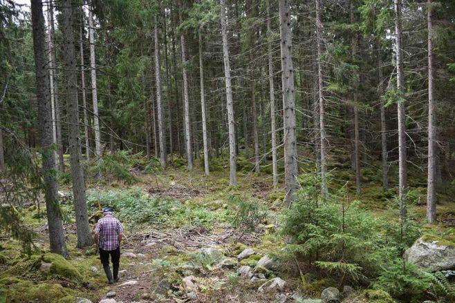 Metsänomistaja kävelee kuusimetsässä, jossa on tehty hakkuita.