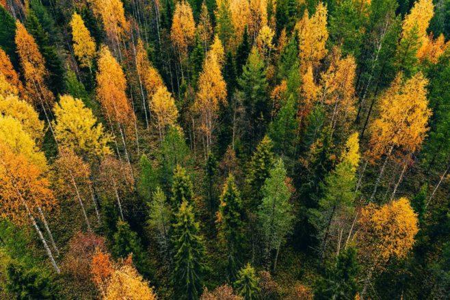 Sekametsä ylhäältä syksyllä. Kuusia ja mäntyjä sekä ruskan värisiä lehtipuita.