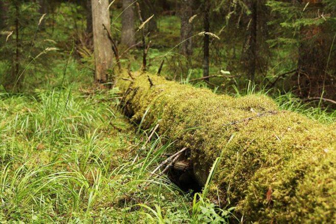 Täysin sammaloitunut järeä maapuu metsässä.