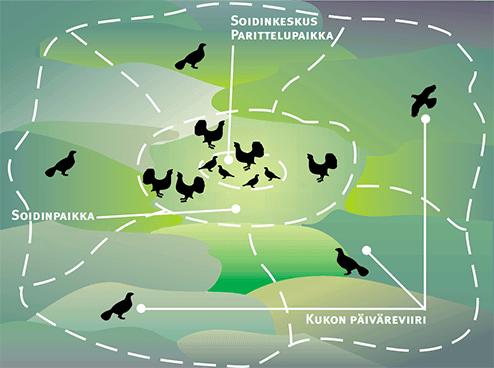 Kaaviokuva metsojen soidinalueesta, jossa keskelläsoidinkeskus, sen ympärillä soidinpaikka, jossa useita metsoja. Soidinpaikan ympärillä kukkojen omat päiväreviirit.