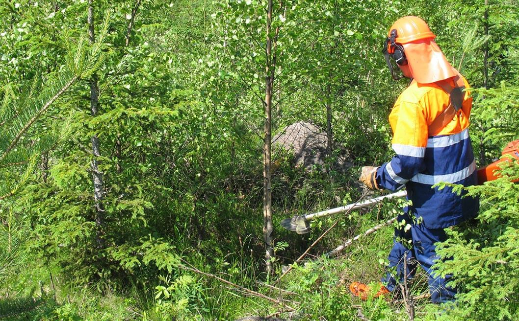 Henkilö metsurivaatteet päällä raivaamassa istutusalaa, jossa kuusia, koivuja ja mäntyjä..