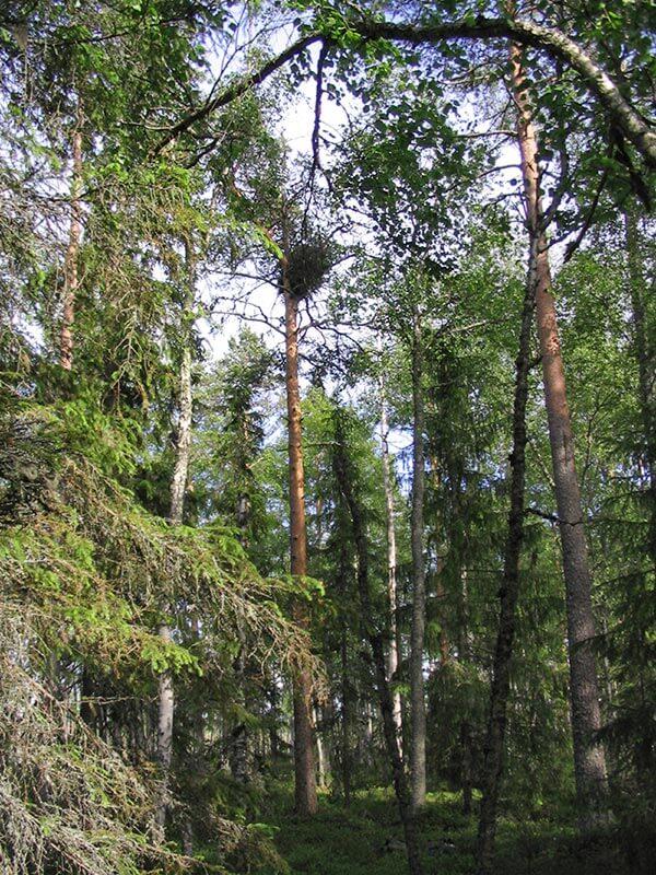 Metsän keskellä korkealla männyssä petolinnun pesäpuu.