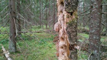 Lintujen kovertamia koloja koivupökkelössä metsässä.