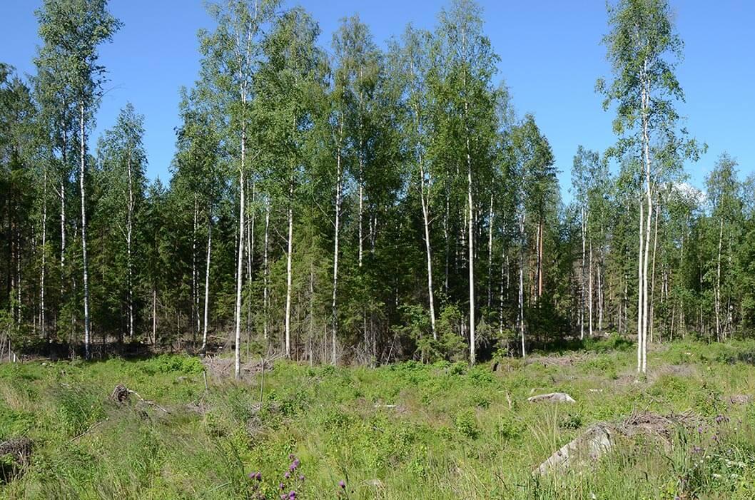 Hakkuuaukon ja metsän rajalla säästöpuuryhmä, jossa runsas tiheikkö. Säästöpuuryhmän korkeimmat puut koivua, välikoon puut ja alikasvos kuusta.