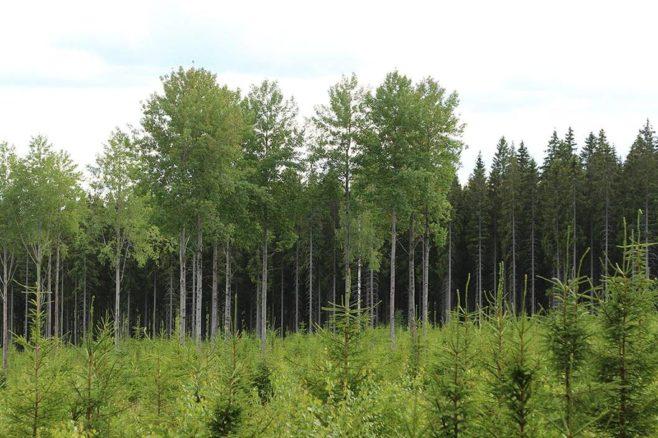 Isoja haapoja säästöpuuryhmässä kuusimetsän vieressä taimikon ja metsän rajalla.