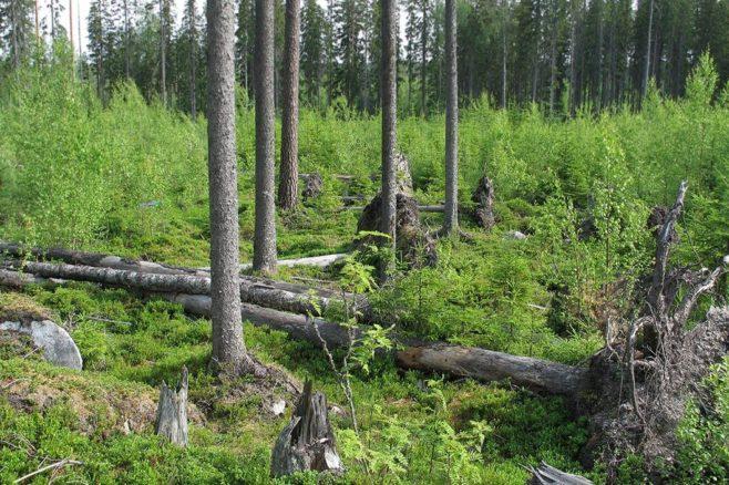Taimikon keskellä säästöpuuryhmä, jossa osa kaatuneita puita.