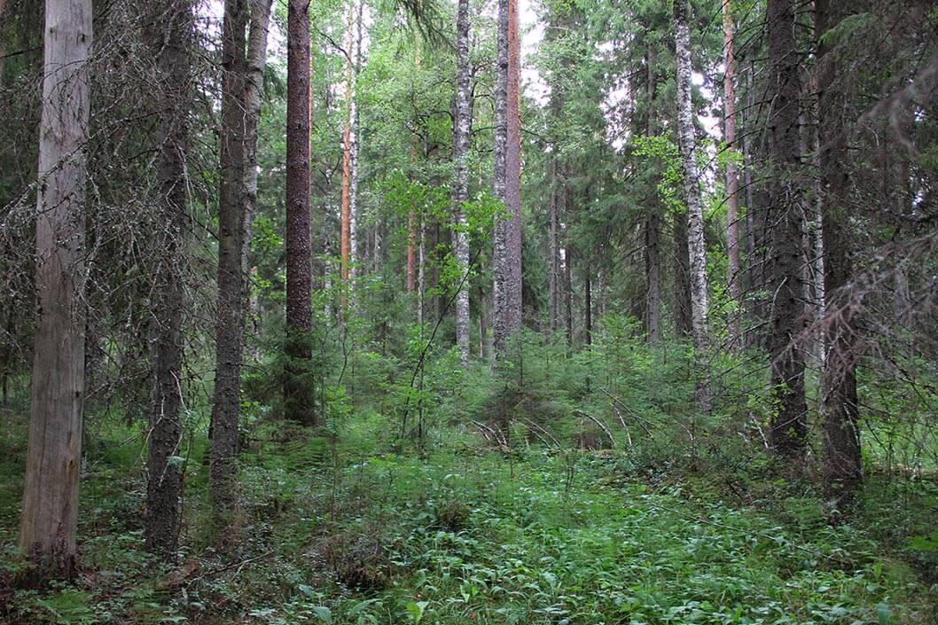 Metsä, jossa on korkeaa koivua, mäntyä ja kuusta. Keskellä valoisa aukko, jossa kasvaa pieniä alikasvoskuusia.