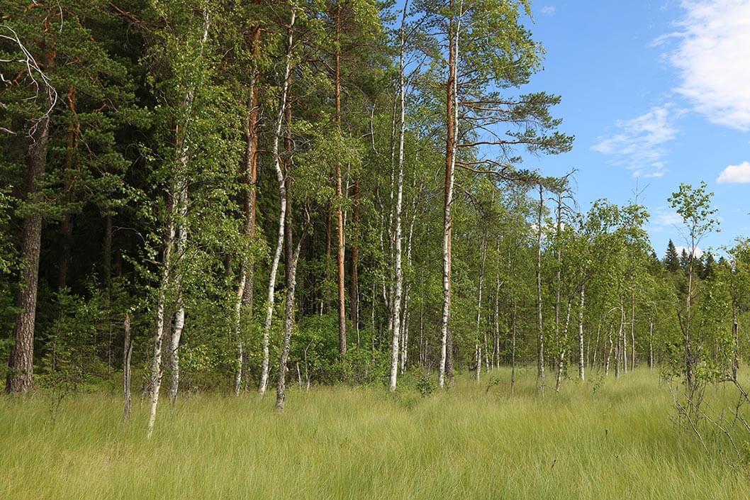Suon ja metsän välinen raja. Suolla kasvaa koivua ja erilaista heinää. Metsän puolella korkampaa mäntyä.