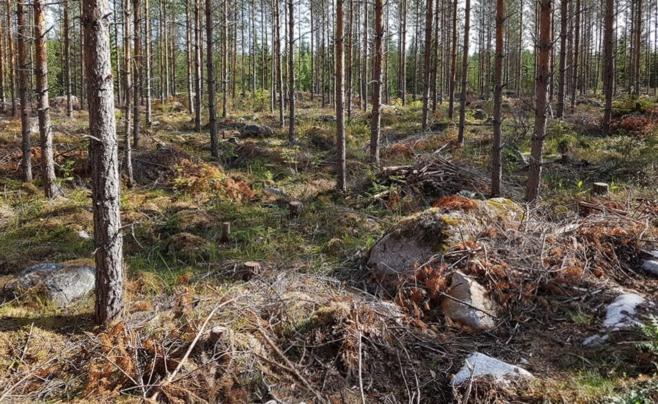 Nuorta xxx vanhaa metsää kivikkoisessa maastossa